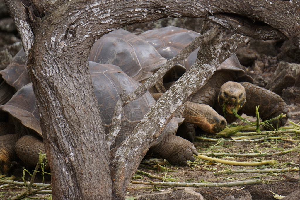 Giant tortoises at the Parque Nacional Galapagos Ecuador
