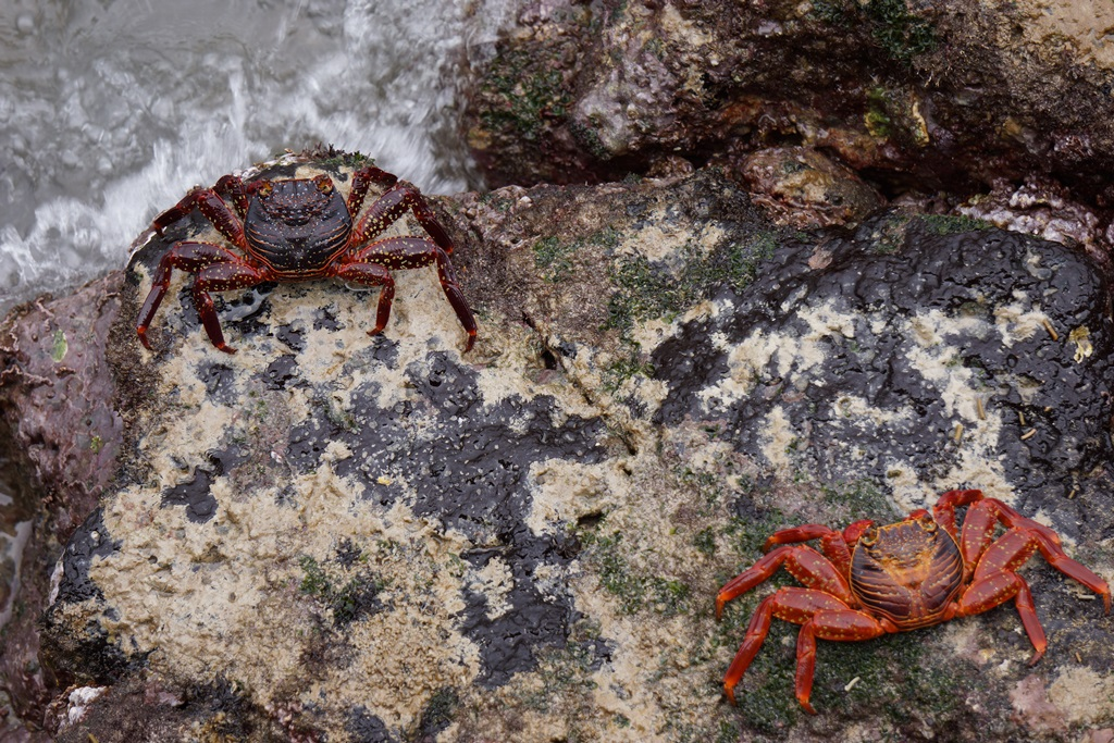 Galapagos Islands red crabs