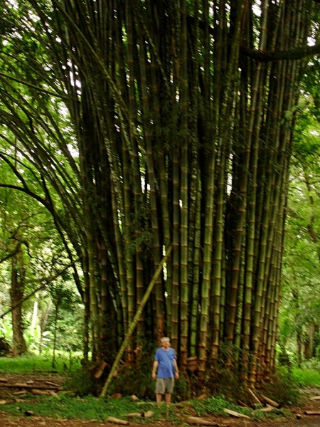 Giant Bamboo in Southern Costa Rica