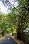 Bamboo on path to Ancon Hill