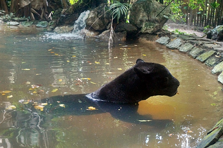 Black Panther takes a swim