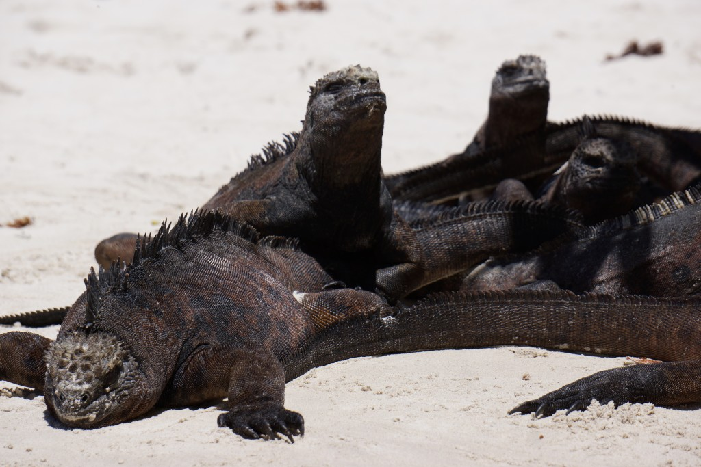 Galapagos Islands iguana family